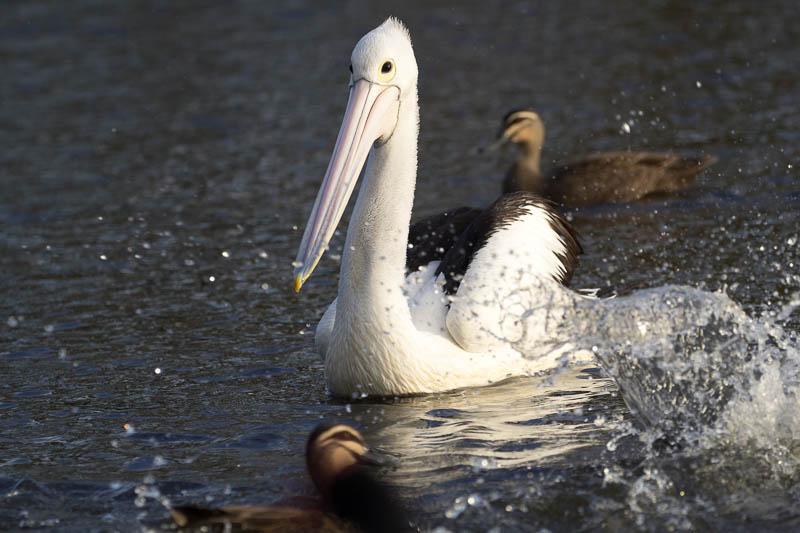 Pelican - Minnippi Parklands